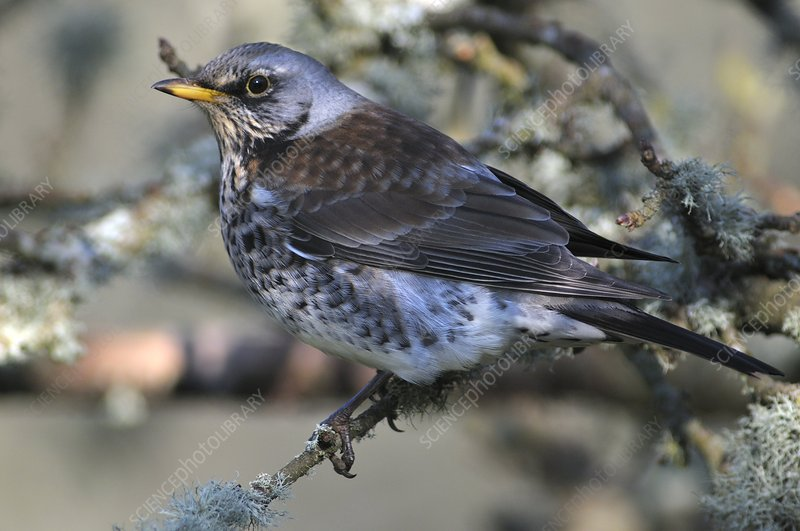 Fieldfare in an orchard