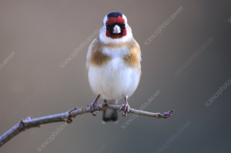 European goldfinch on a branch