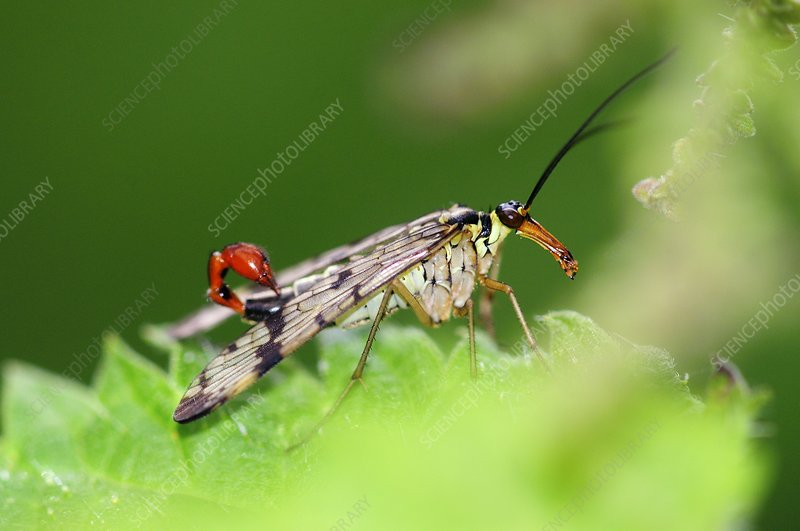 Scorpionfly on a nettle leaf