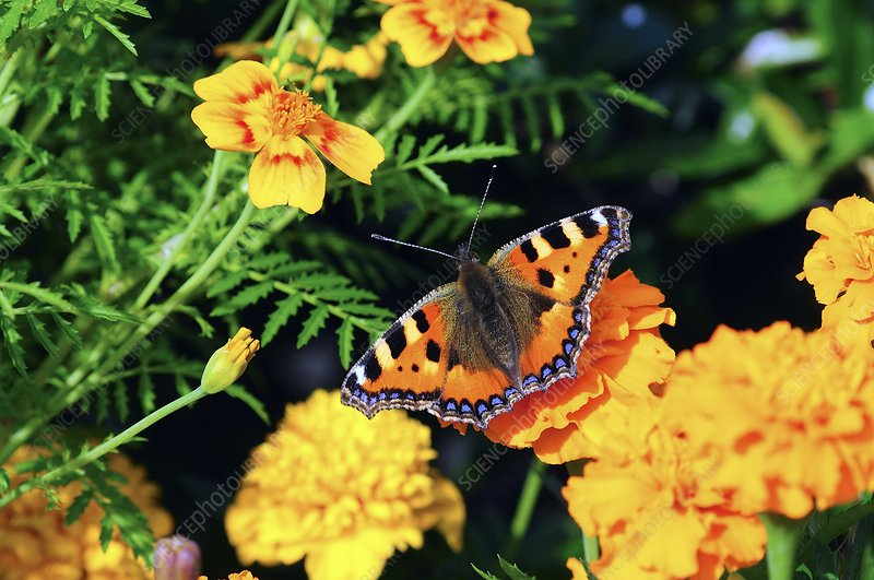 Small tortoiseshell on marigold flowers