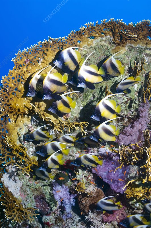Red Sea bannerfish on a coral reef