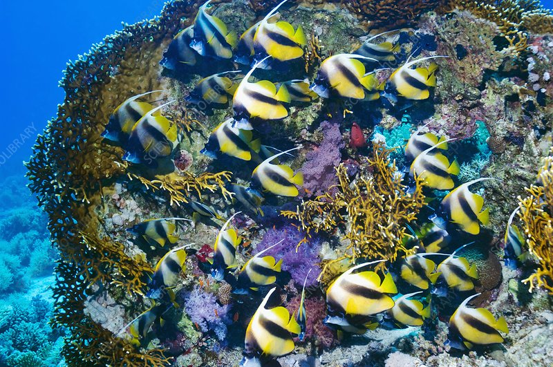 Red Sea bannerfish on a reef