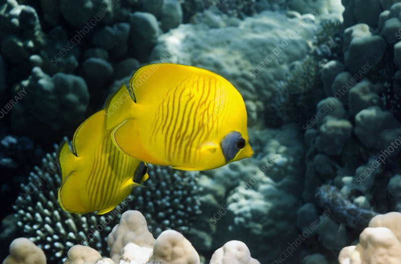 Masked butterflyfish on a reef