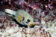 Blackspotted puffer and cleaner wrasse