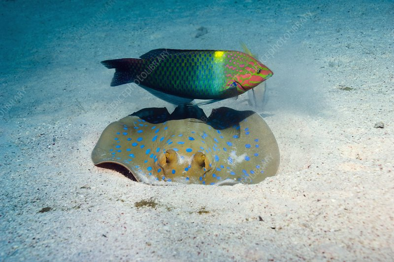 Wrasse and ray