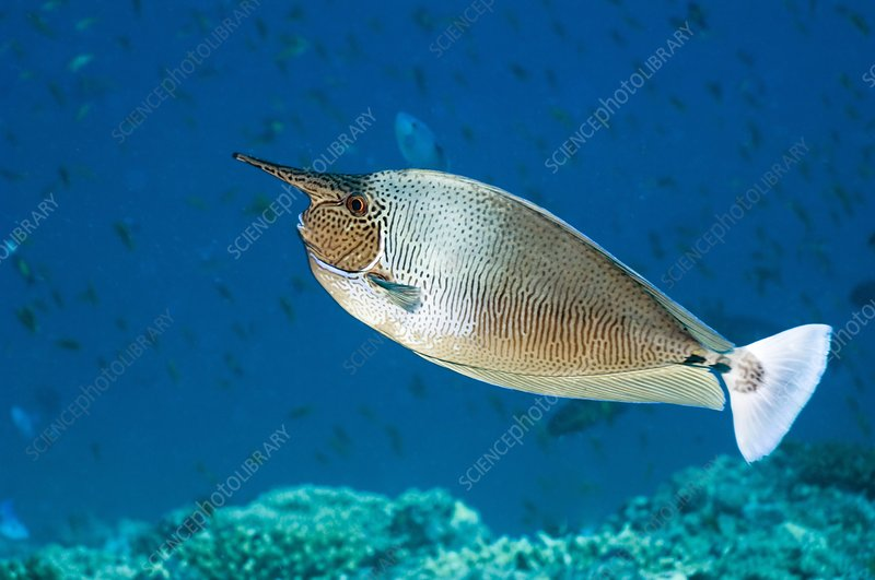 Spotted unicornfish on a reef