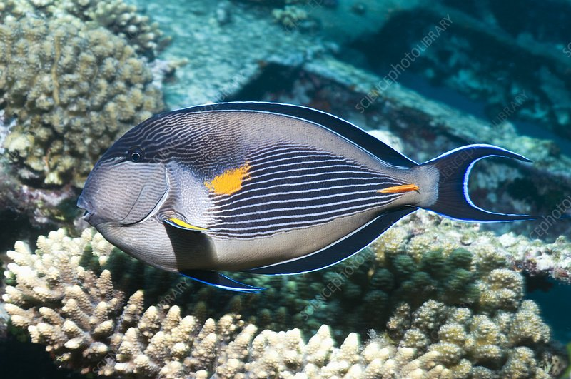 Sohal surgeonfish on a reef