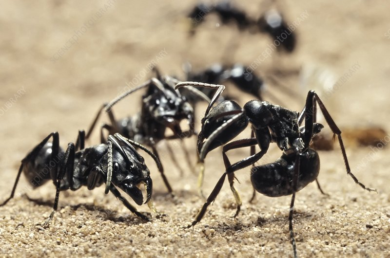 Queenless ants