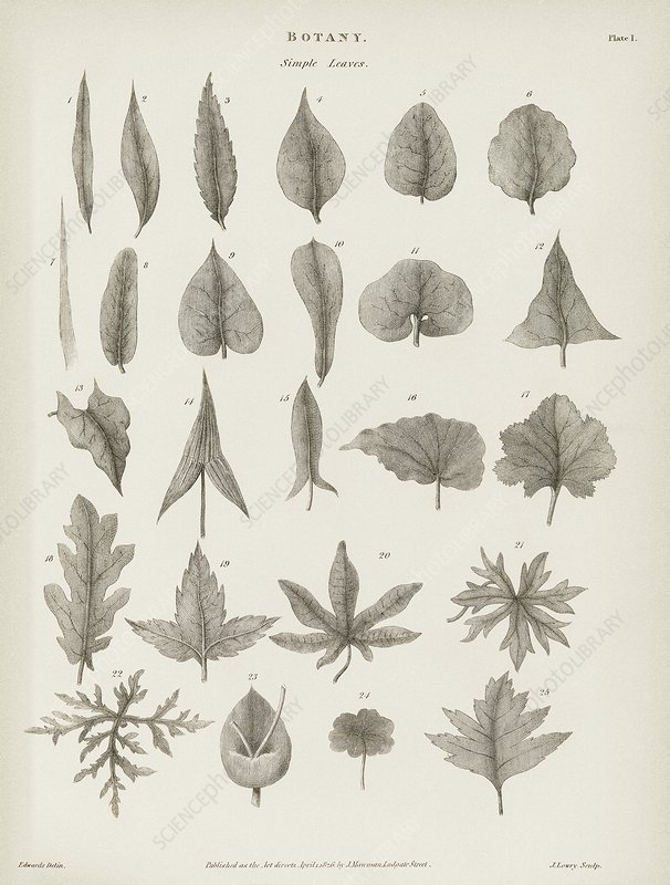 Simple leaves, 19th century