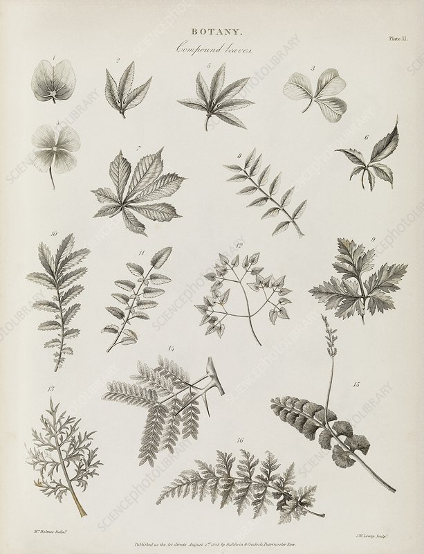 Compound leaves, 19th century