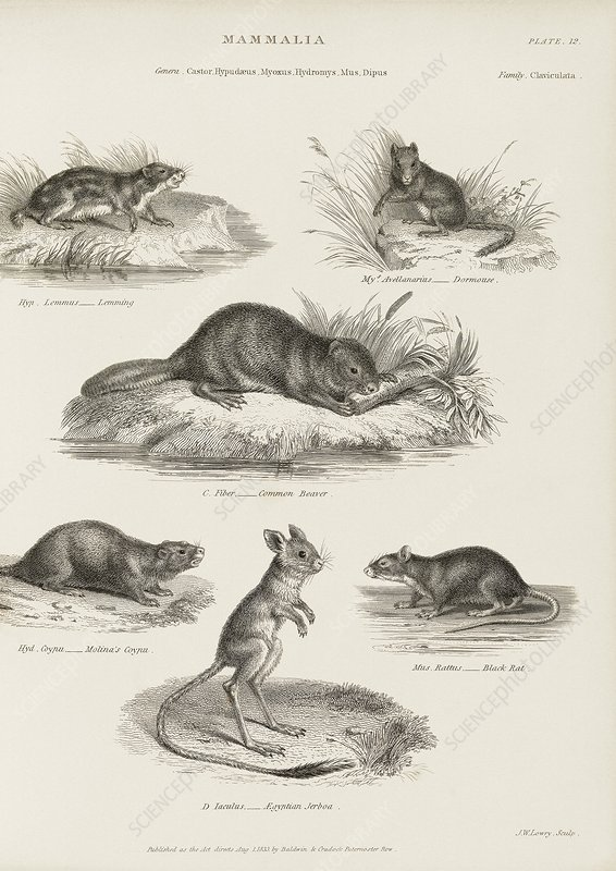 Rodents, 19th century