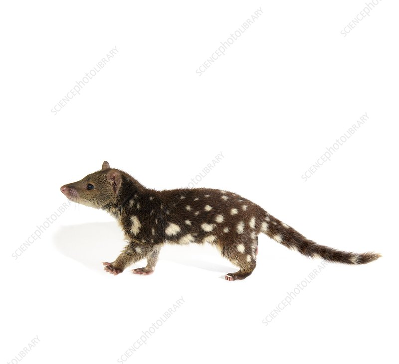 Young tiger quoll