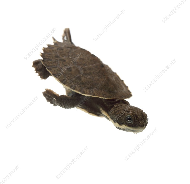 Baby saw-shelled turtle
