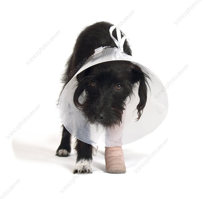Injured jack-a-poo