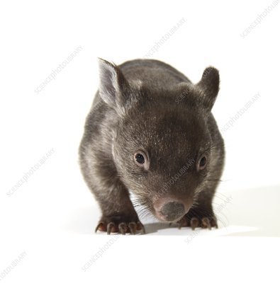 Baby common wombat