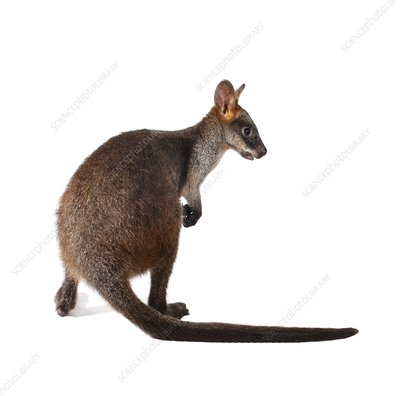 Swamp wallaby joey