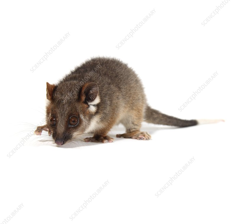 Baby common ringtail possum