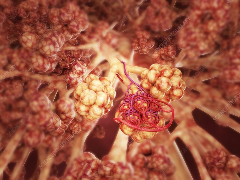 Healthy alveoli in the lung