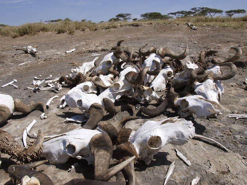 Natural trap with wildebeest skulls