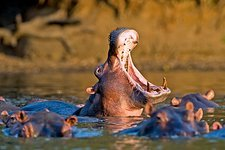 Hippo with its mouth open