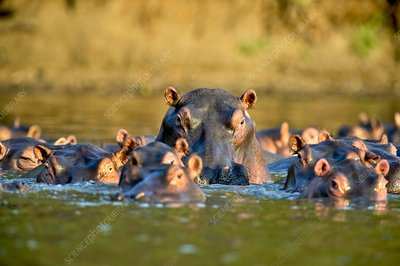 Hippos in water
