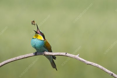 European bee-eater eating a bee