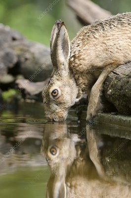 European hare drinking