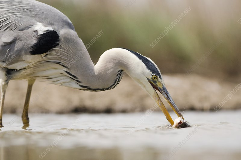 Grey heron catching a fish