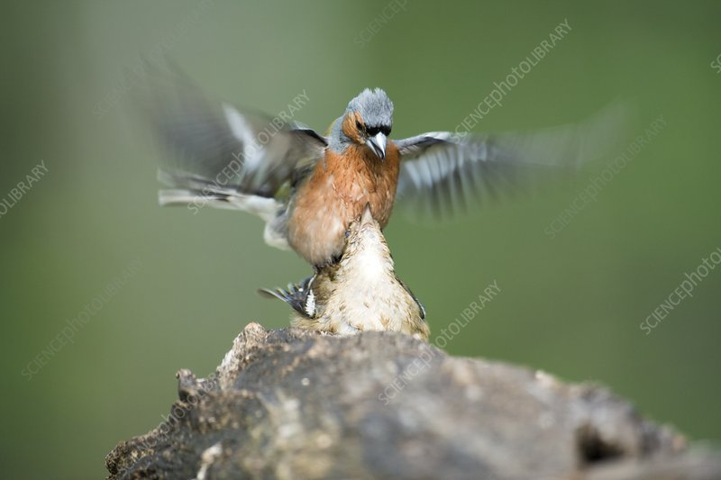Chaffinches mating