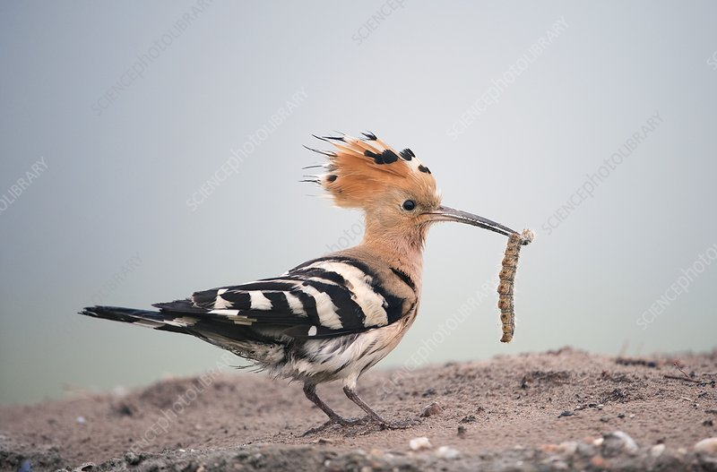 Hoopoe with a caterpillar in its beak