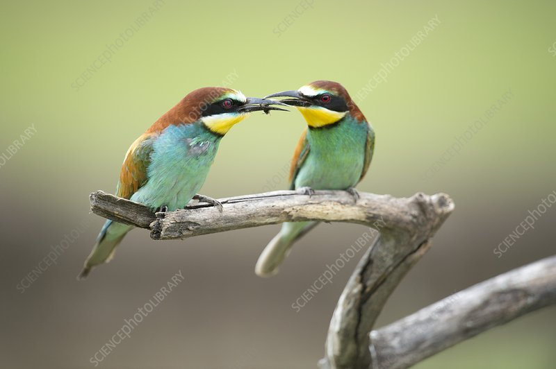European bee-eaters eating a bee