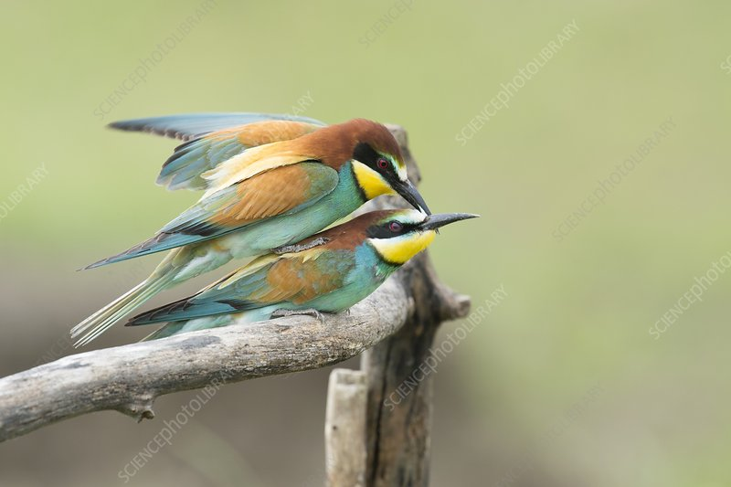 European bee-eaters mating