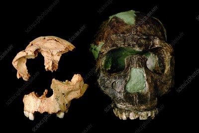 Homo erectus 1995 part 1 10