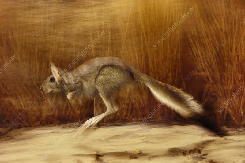 Spring hare jumping, Pedetes capensis