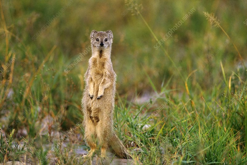 Yellow mongoose standing alert, Botswana