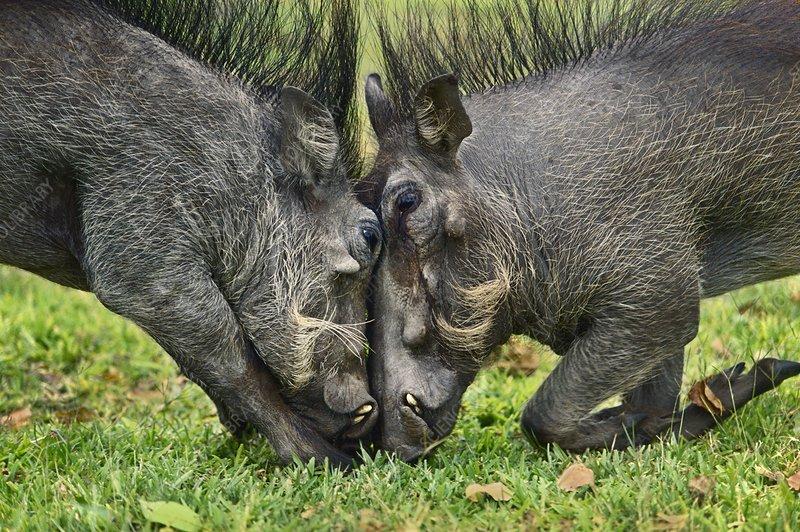 Warthogs sparring, Phacochoerus africanus