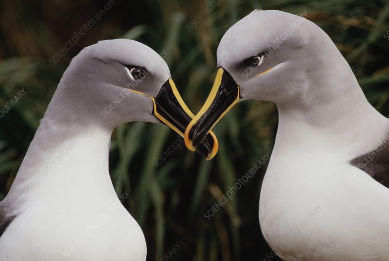 Grey-headed albatrosses courting