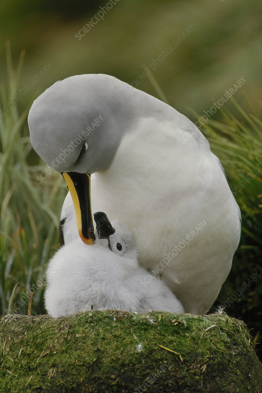 Grey-headed albatross with chick