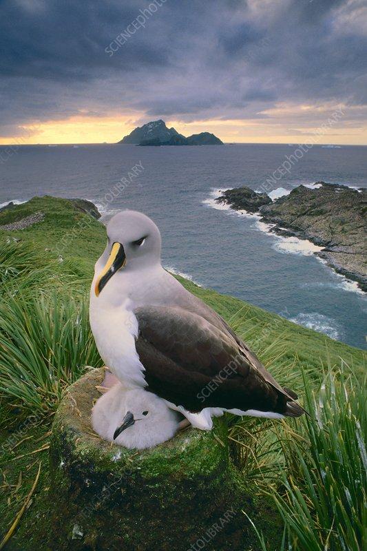 Grey-headed albatross brooding chick