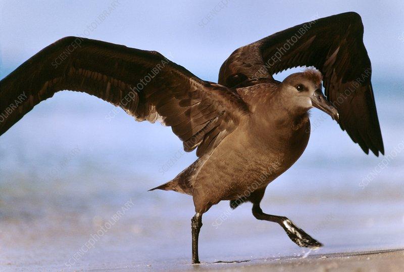 Black-footed albatross juvenile