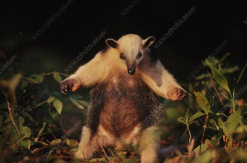 Collared anteater in defensive posture