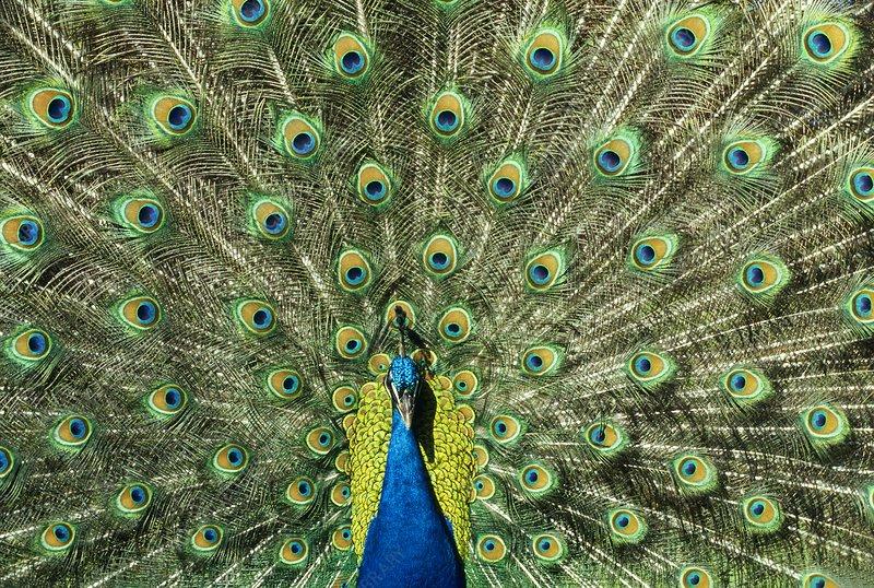Peacock male displaying, Pavo cristatus