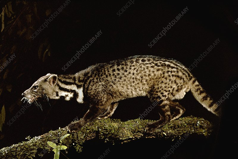 Malayan civet caught by camera trap