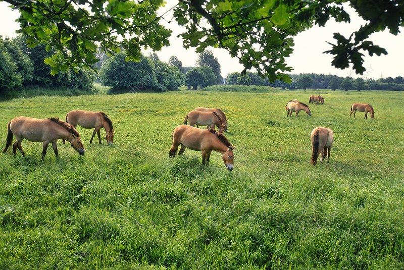 Takhi grazing, Equus caballus przewalskii