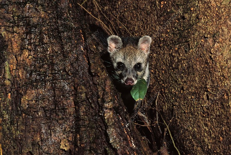 Malayan civet, Viverra tangalunga, Borneo