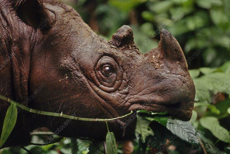 Sumatran rhinoceros foraging, Borneo