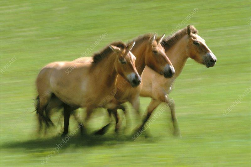 Takhis , Equus caballus przewalskii
