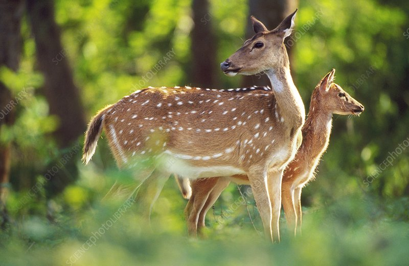 Chital with fawn, Axis axis, India