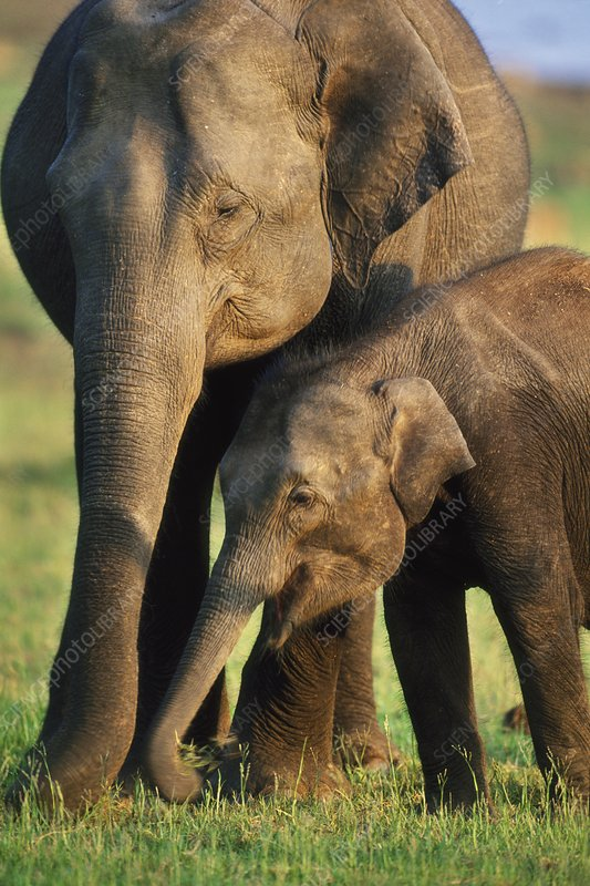 Asiatic elephant mother and calf foraging
