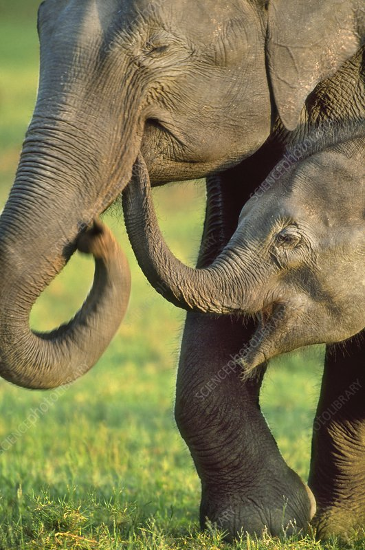 Asiatic elephant mother and calf, India